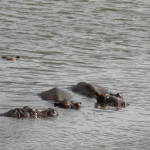 ...during the game drive, we passed some hippos.